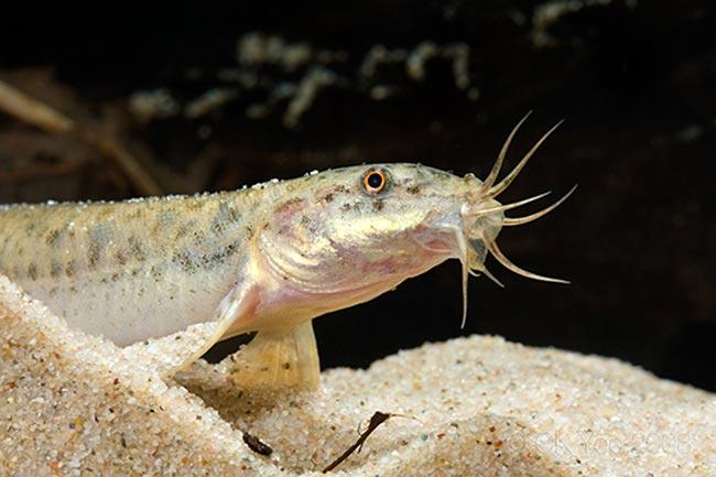 толстолобик размножение в пруду