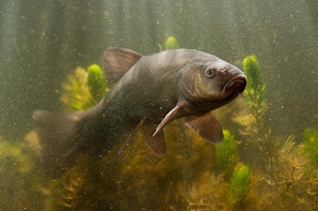 рыба толстолобик цена за 1 кг