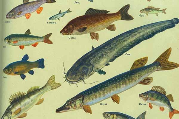 рыбалка пресноводные рыбы россии